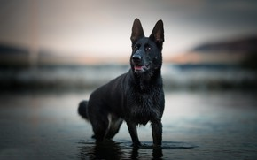 Wallpaper water, dog, bokeh, shepherd