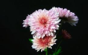 Picture Flowers, Autumn, Chrysanthemum
