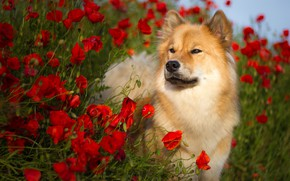 Picture summer, flowers, nature, animal, Maki, dog, dog, Birgit Chytracek, eurasier, the eurasier