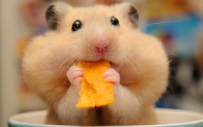 Wallpaper rodent, hamster, cheeks, muzzle, lunch, chips