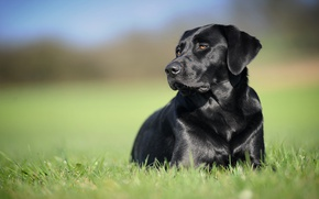 Picture background, black, dog, Labrador Retriever