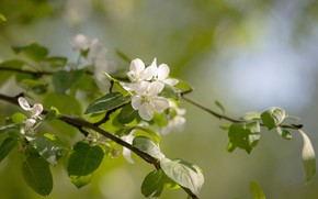 Picture flowers, Park, spring, may, blooms, Sunny, Apple, flowering