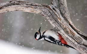 Picture tree, bird, Great Spotted Woodpecker