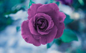 Picture flower, rose, Bud