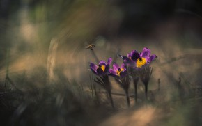 Picture forest, bee, spring, sleep-grass