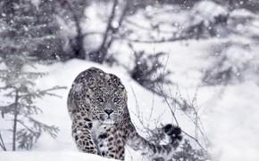 Picture winter, forest, snow, predator, leopard, IRBIS, snow leopard