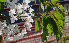 Picture flowers, cherry, April, spring 2018, Mamala ©
