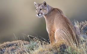 Picture grass, background, wild cat, Puma, Mountain lion