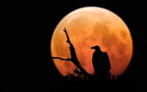 Picture moon, raptor, bird, animal, branch, silhouette, Vulture, moon light