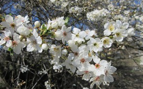 Picture flowers, flowering tree, white flowers, spring 2018, mamala ©