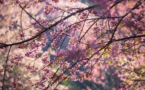 Picture the sky, branches, spring, Sakura, flowering, pink, blossom, sakura, cherry, spring, bloom