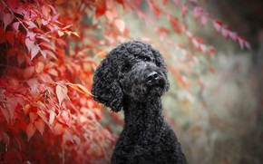 Picture leaves, branches, dog, bokeh, Poodle