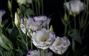 Picture flowers, branch, eustoma