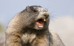 Picture teeth, marmot, rodent, Hoary marmot