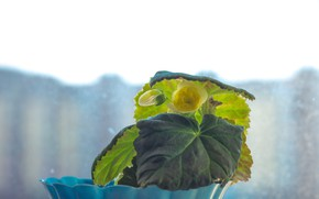 Picture yellow, the flower on the window, yellow begonia