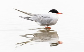 Picture reflection, bird, beak, river tern