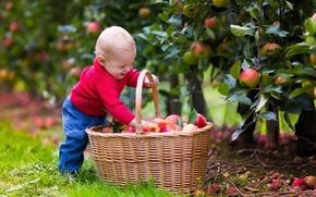 Picture joy, basket, apples, child, boys, child, apples, basket, wicker, malchk