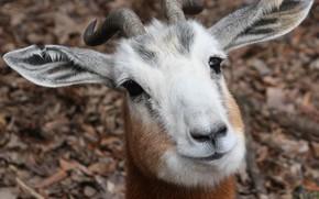 Picture look, face, portrait, goat