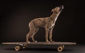 Picture dog, Board, skate