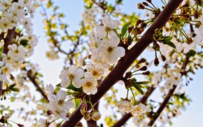 Picture flower, leaves, cherry, branch, spring, petals, Bud, flowering