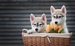 Wallpaper flowers, animals, dogs, husky, tulips, puppies, pair, puppies, basket