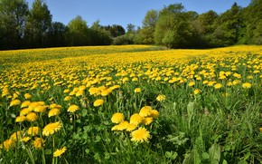 Picture field, trees, flowers, nature, spring, dandelions, flowering