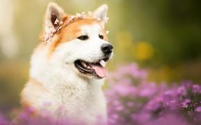 Wallpaper language, face, flowers, portrait, dog, wreath, bokeh, Akita inu