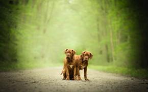 Picture dogs, pair, bokeh, twins, Dogue de Bordeaux