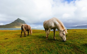 Picture field, mountains, horses, horse, Iceland, grazing, Icelandic