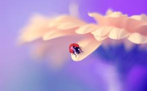 Wallpaper flower, macro, ladybug