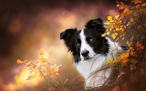 Picture grass, look, face, branches, background, portrait, dog, bokeh, The border collie