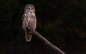 Picture owl, bird, log