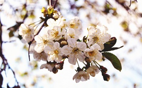 Picture flowers, cherry, spring, petals, branch, flowering