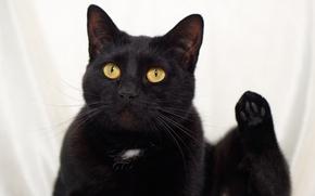 Picture eyes, cat, mustache, look, black