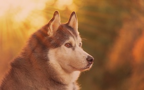 Picture face, portrait, dog, profile, bokeh, Malamute