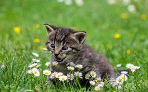 Picture grass, flowers, baby, kitty, bokeh, Daisy, pisklya