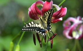 Picture flower, macro, butterfly, Lily, stamens, bokeh, Swallowtail, Lily lovely
