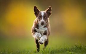 Picture running, puppy, brown, The border collie, Tissaia ♥