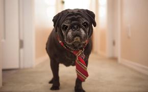 Wallpaper house, tie, dog