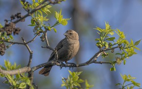 Picture birds, tree, branch, belogolovy cow trupial, ox-bird