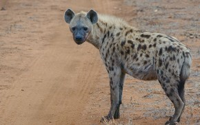 Picture look, nature, hyena