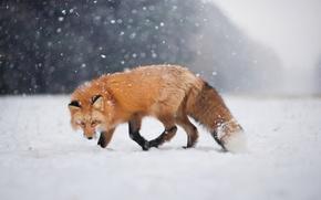 Picture winter, look, snow, Fox, Fox, bokeh