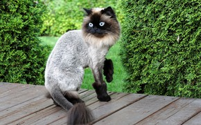 Picture cat, style, haircut