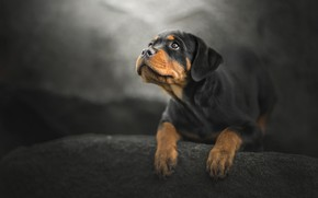 Wallpaper bokeh, look, puppy, dog, Rottweiler