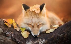 Wallpaper autumn, Fox, fox, foliage, Fox