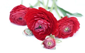 Picture flowers, bouquet, red, Ranunculus, Asian Buttercup, Buttercup