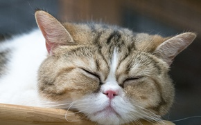 Picture cat, face, sleeping