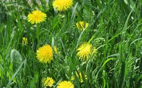 Picture grass, dandelions, spring 2018, Meduzanol ©