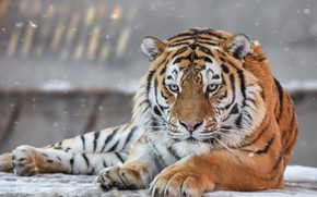 Picture look, face, portrait, predator, wild cat, The Amur tiger
