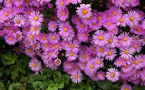 Picture flowers, a lot, asters, pink